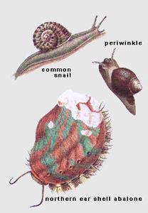 Molluscs: Gastropods