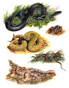 Serpents du Canada