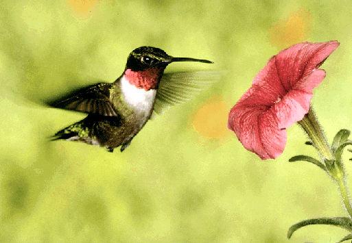 Hummingbird, Ruby-throated
