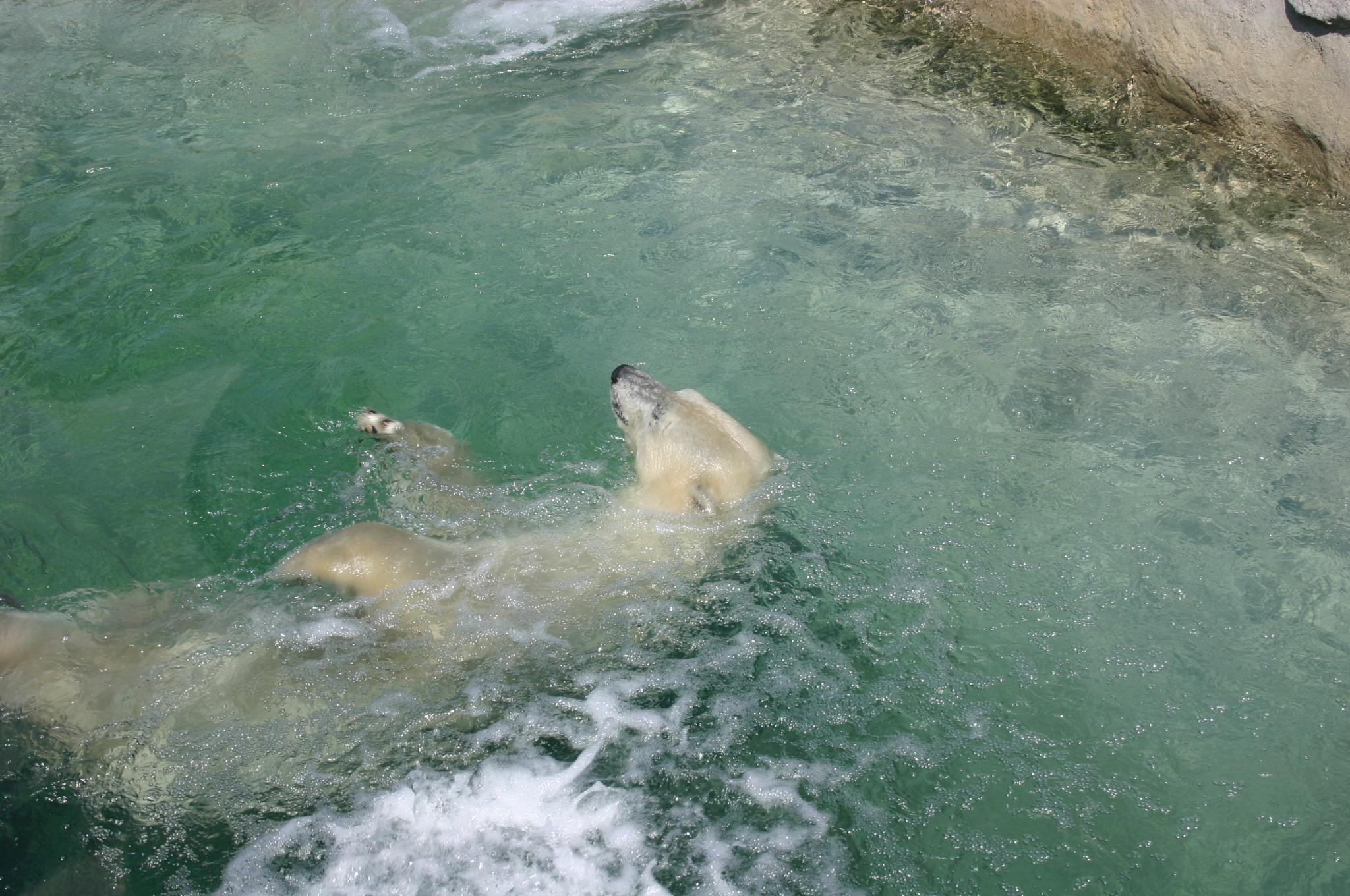 Ours polaire en captivité