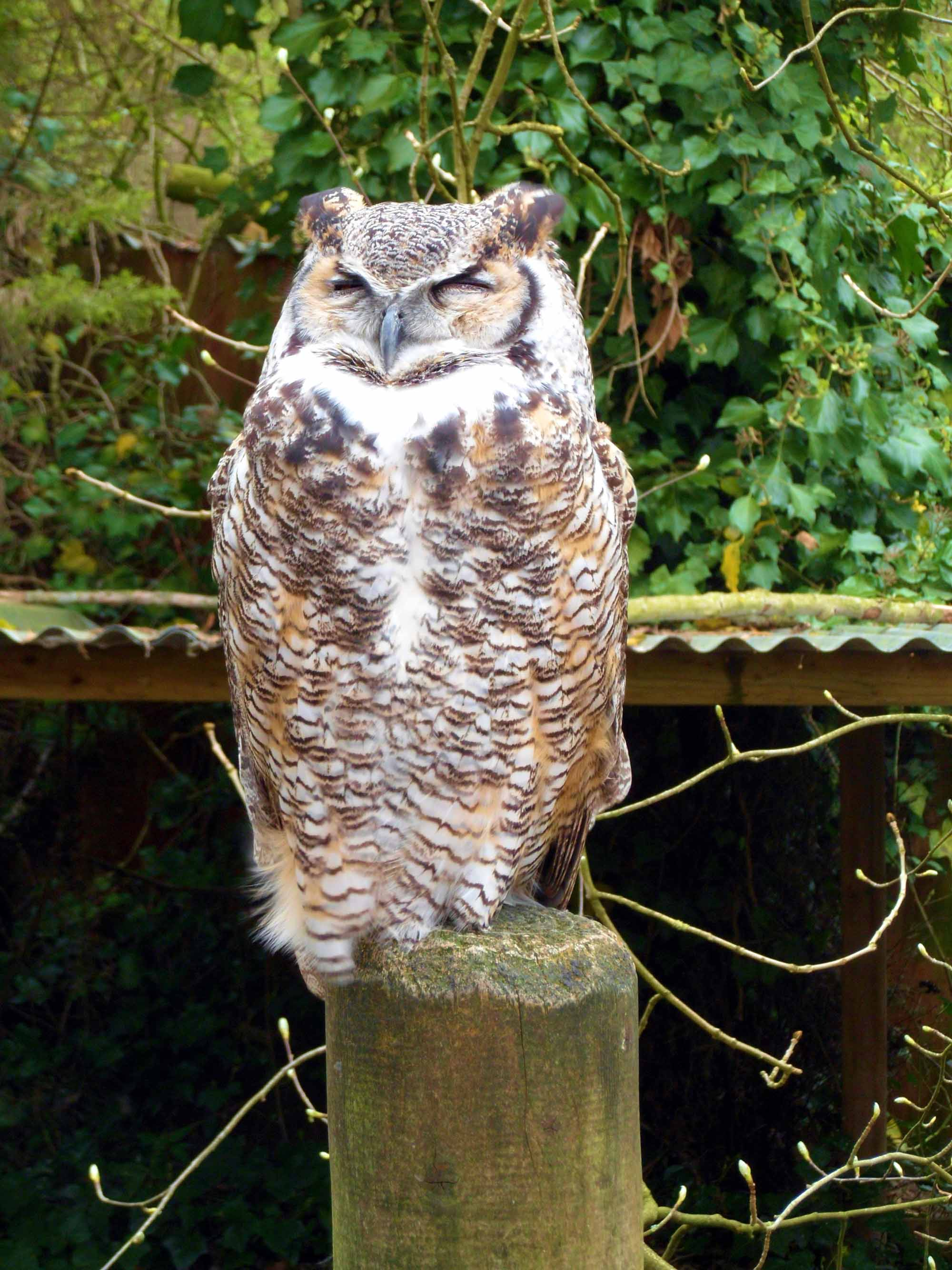 Canadian Great Horned Owl