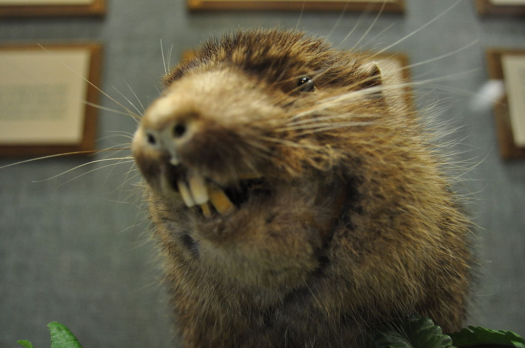 Mountain Beaver