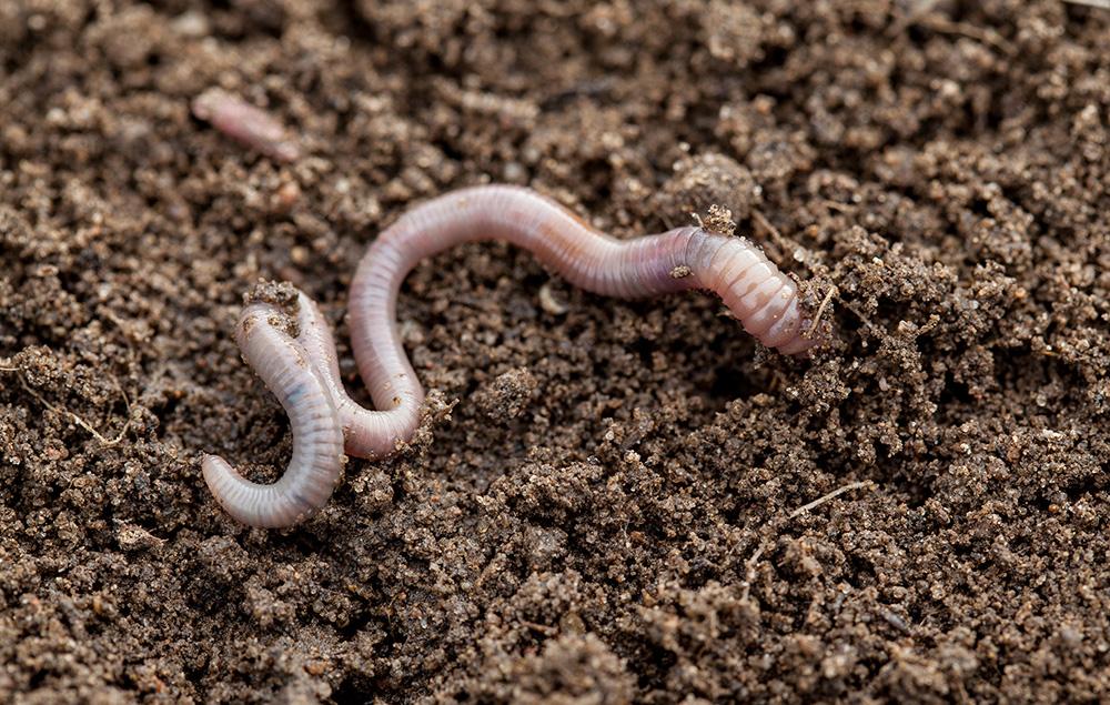 Earthworm