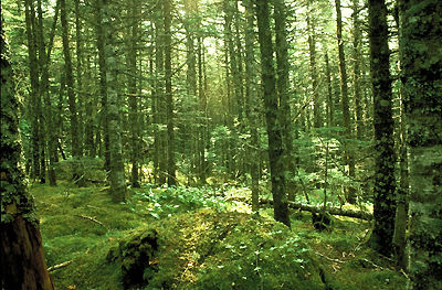 Boreal Forest Floor