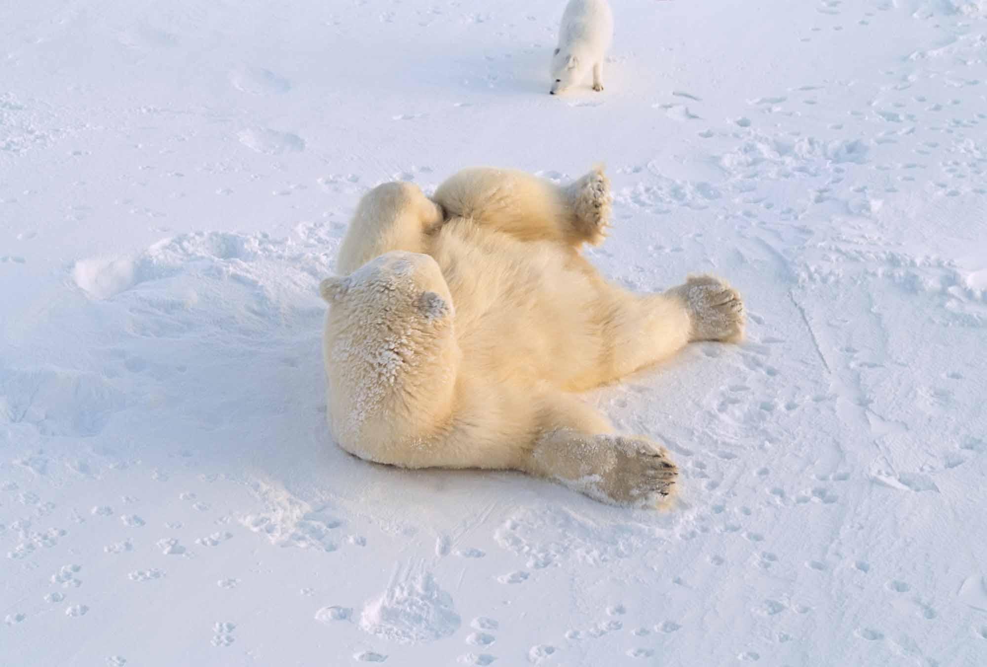 Polar bear and Arctic fox