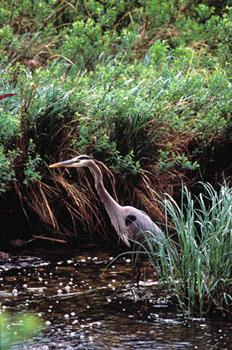 Heron Habitat