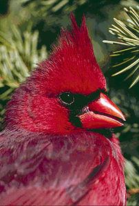 Northern Cardinal, Close-up