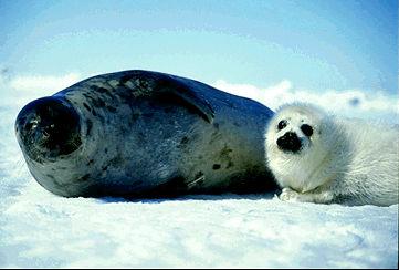 Phoque du Groenland, mère avec petit