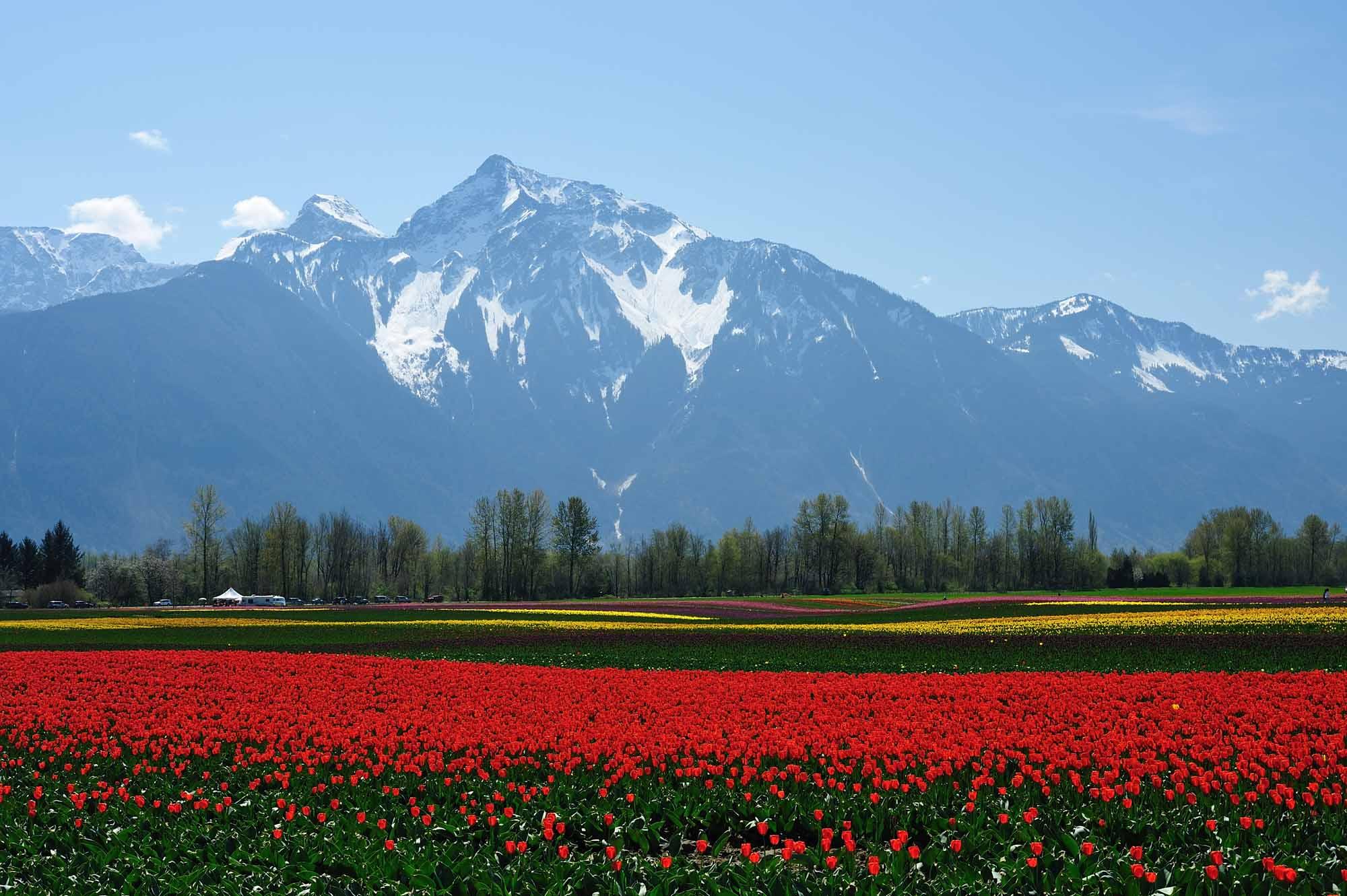 BC Tulip Field