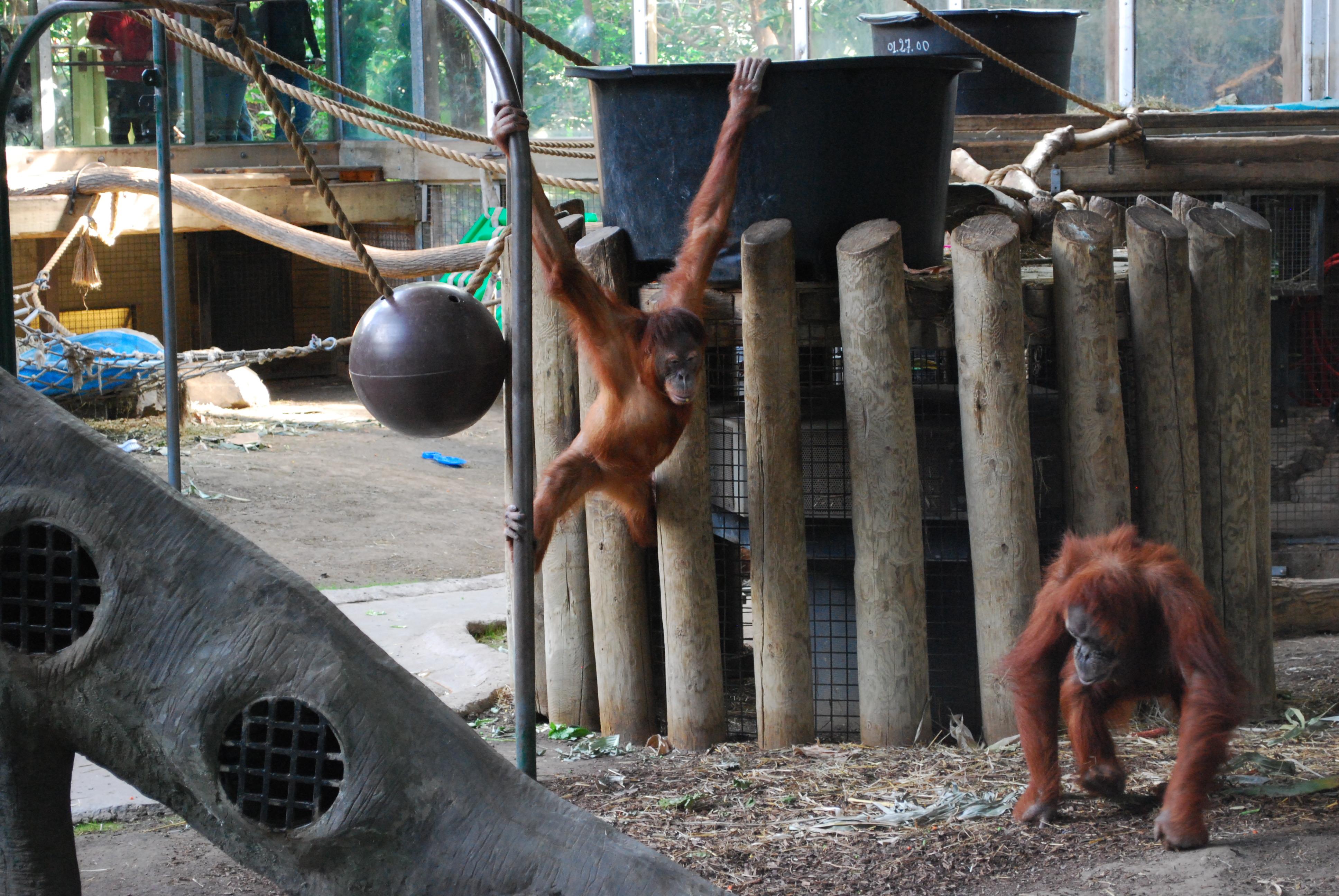 Orangutans at the Toronto Zoo.