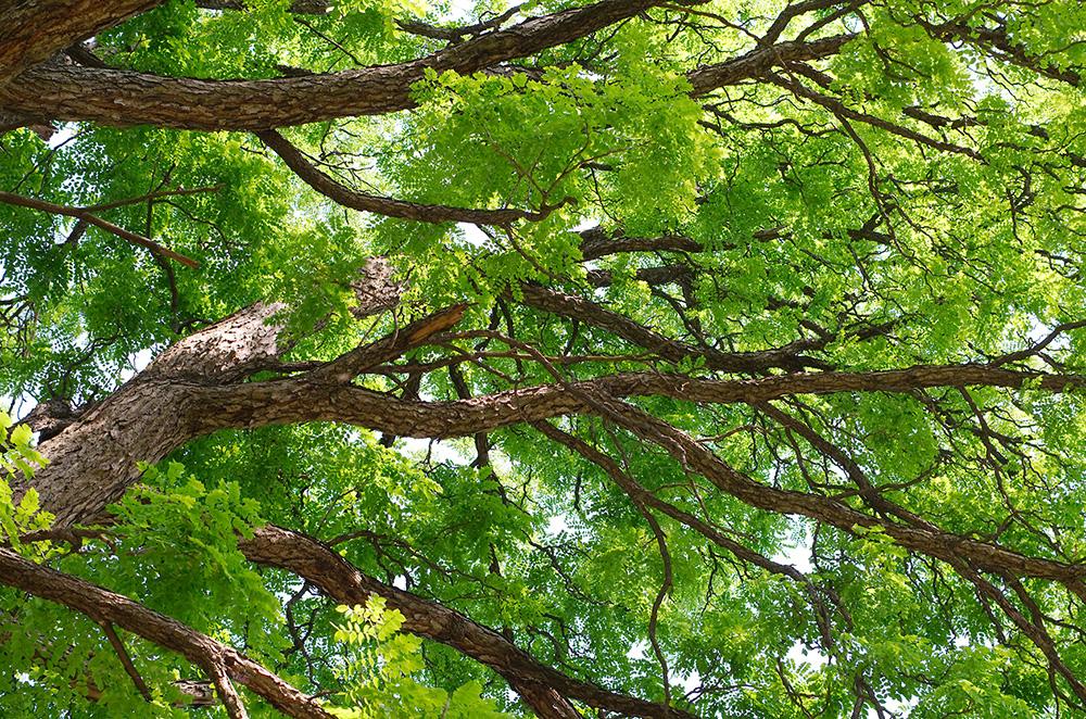 Kentucky Coffee-Tree