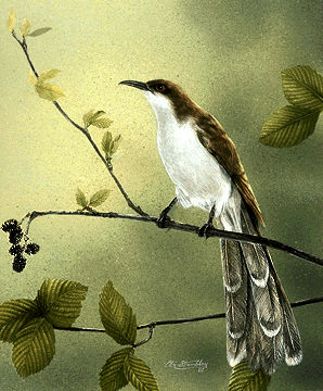 Cuckoo, Black-billed