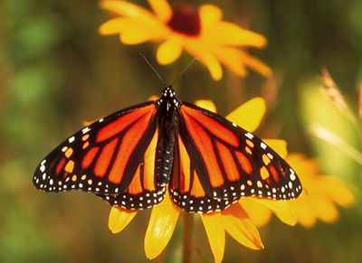 Monarch Butterfly, Adult