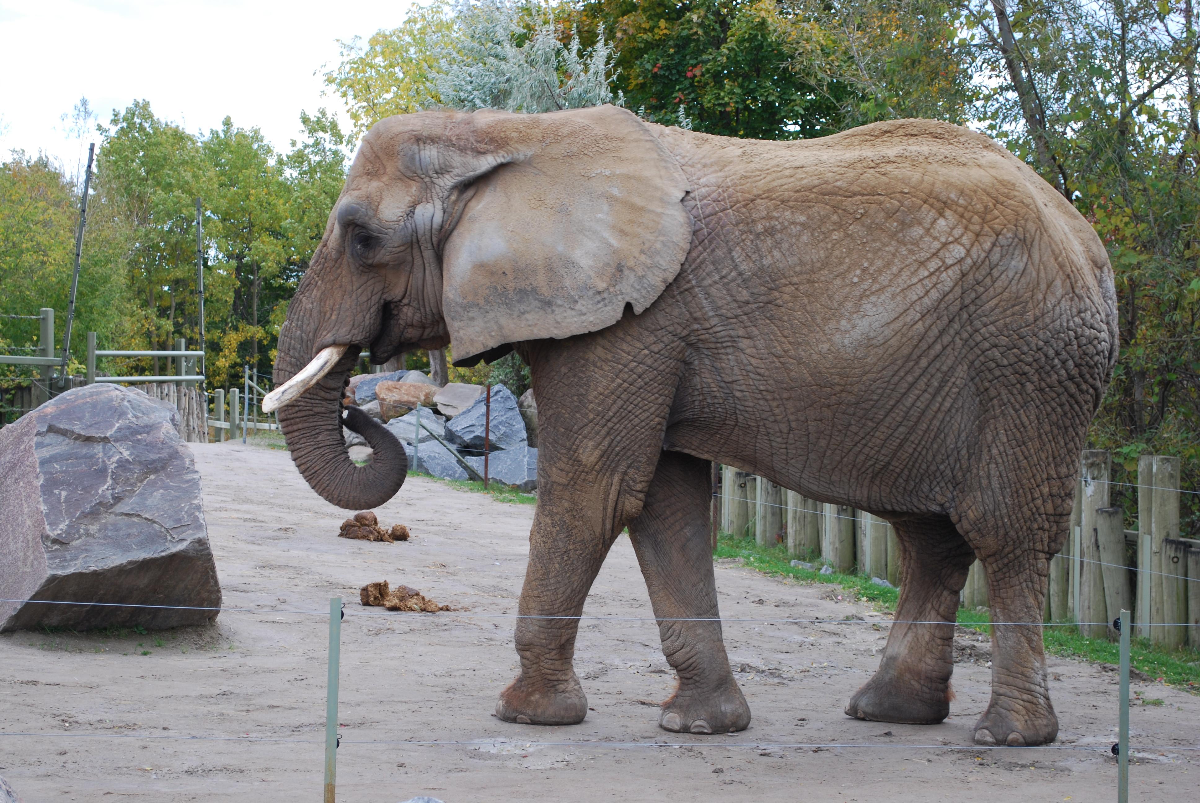 An elephant at the Toronto Zoo.