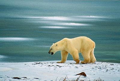 Ours polaire, rôdant