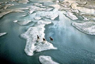 Caribous traversant les flots glacés