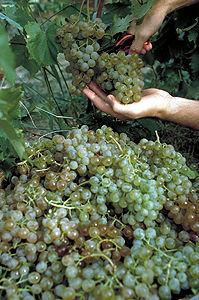 Grapes (V. vinifera)