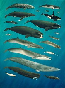 Baleines du Canada
