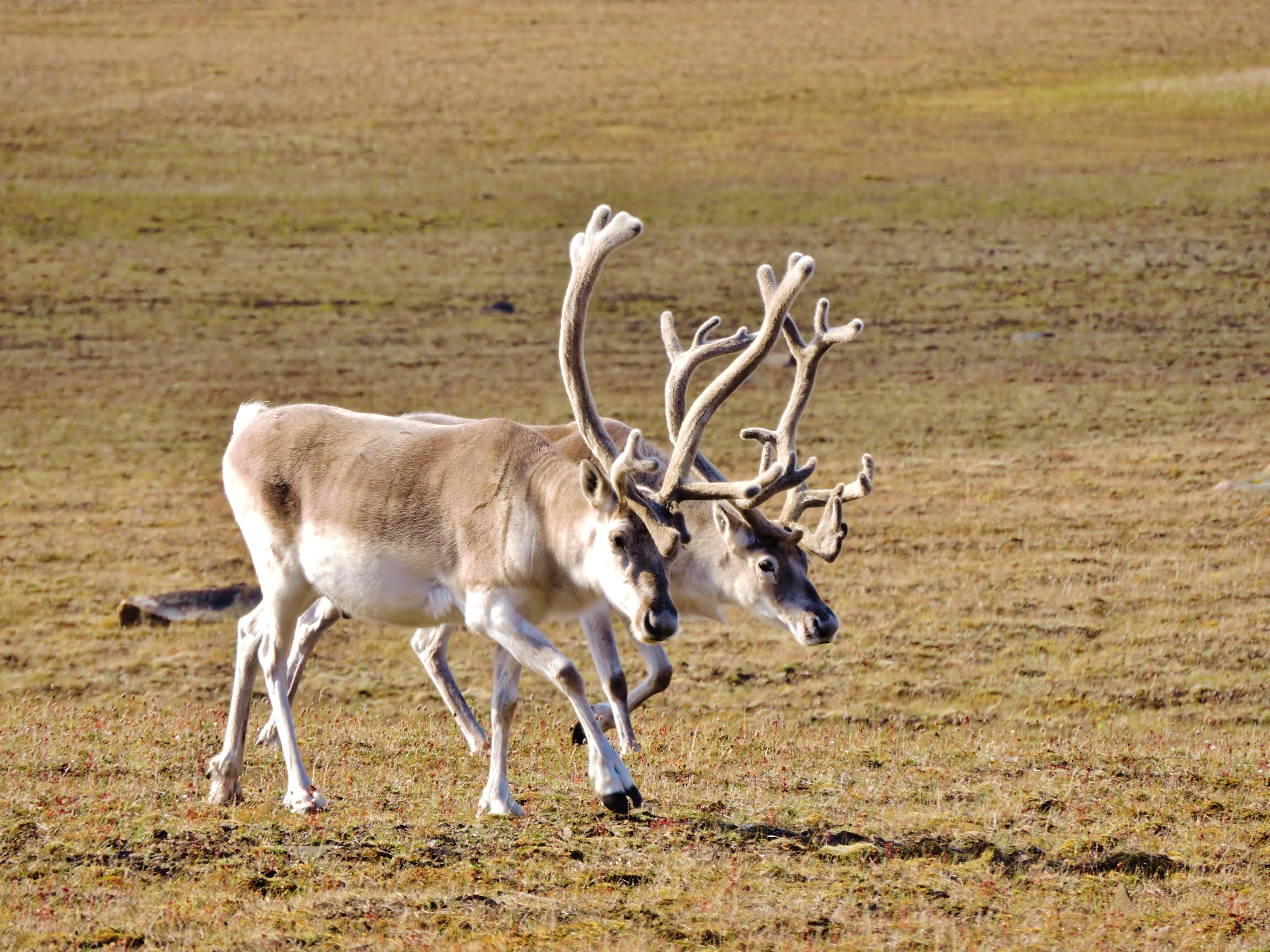 Caribous de Peary dans le parc national Qausuittuq