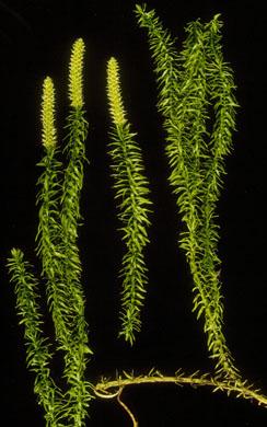 <em>Lycopodium</em>