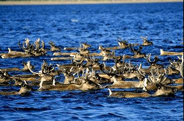 Caribou, migration (traversée d'une étendue)