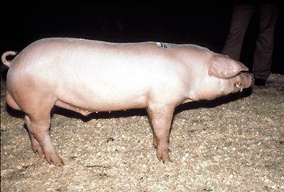Lacombe Pig