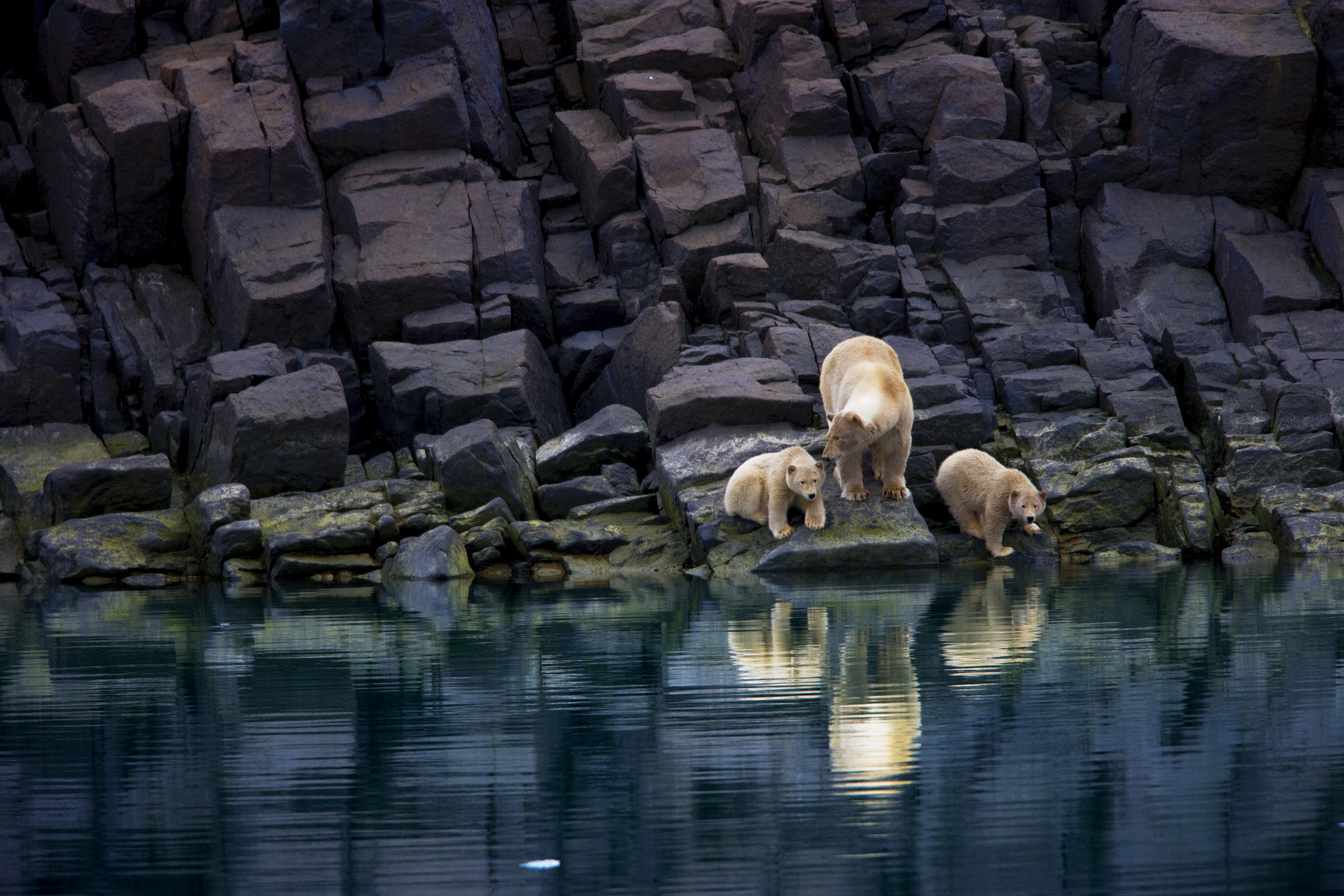 Without ice, a mother bear and cubs are stranded on a rocky shoreline.