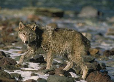 Loup gris cherchant sa nourriture