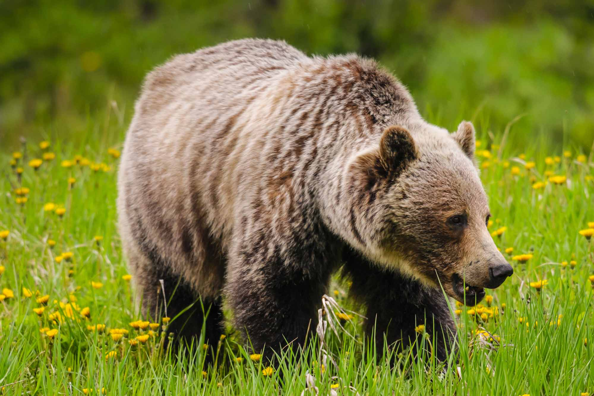 Grizzly Bear - The Canadian Encyclopedia