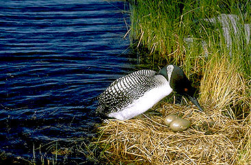 Loon with Eggs
