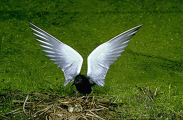 Tern, Black (Wings Spread)