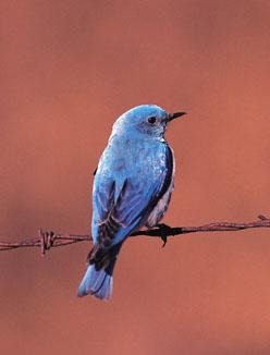 Merle-bleu azuré