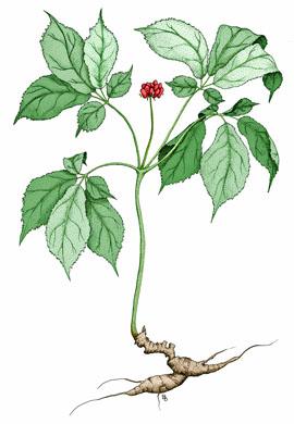 Ginseng canadien (Panax quinquefolius)