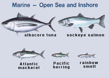 Poisson marin