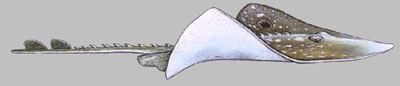 Big Skate Ray