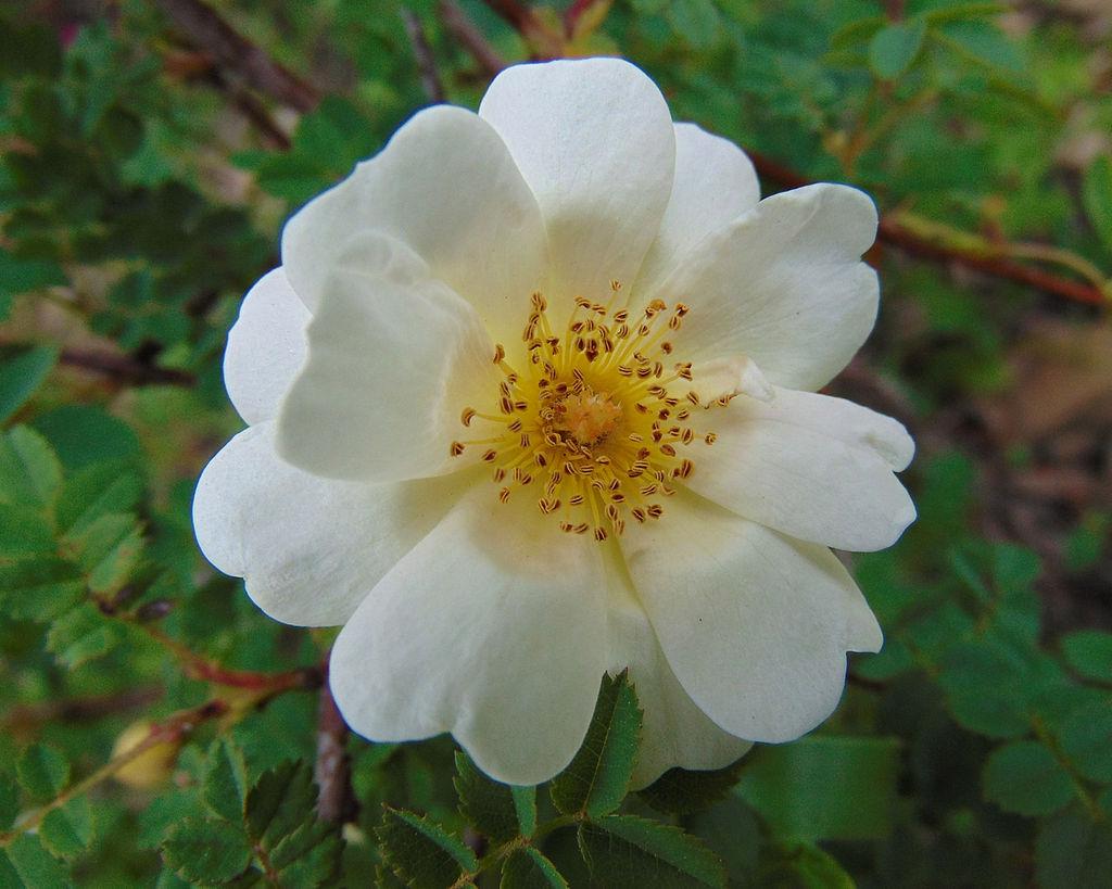 Rose « Orinda »