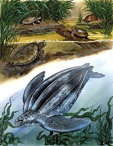 Turtles of Canada