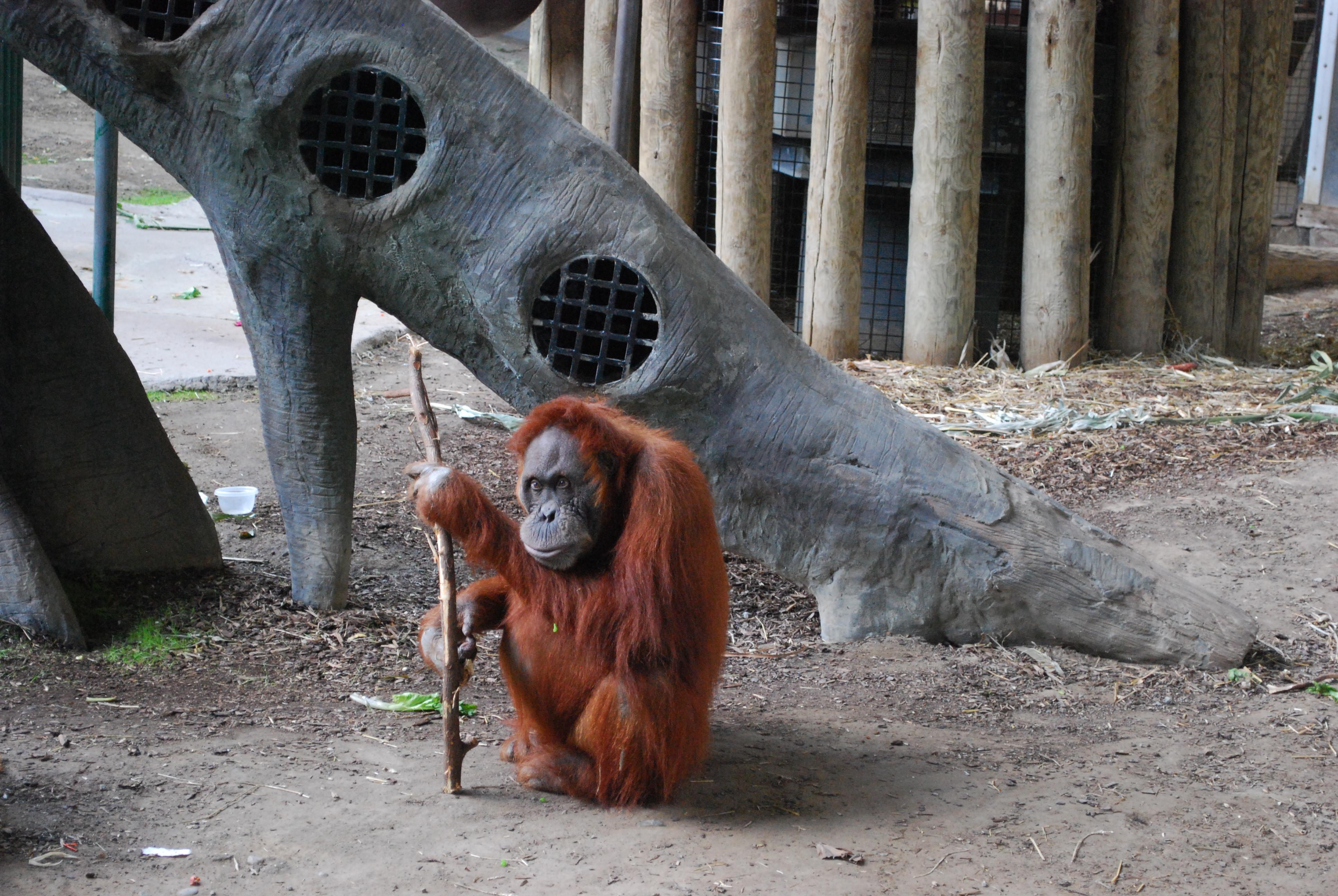 An Orangutan at the Toronto Zoo.