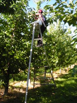 Cueillette de cerises