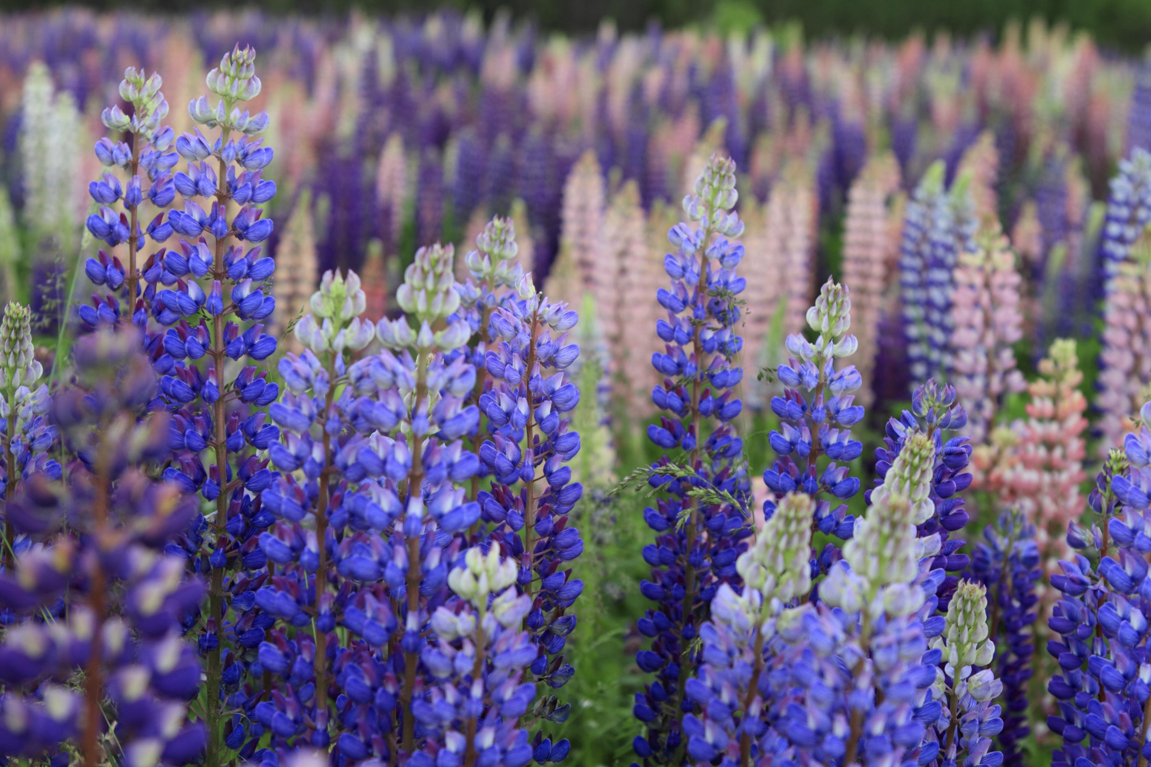 Fleurs Russell Lupine