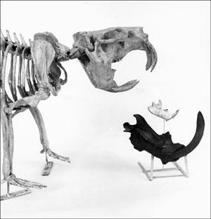 Beaver Skeleton