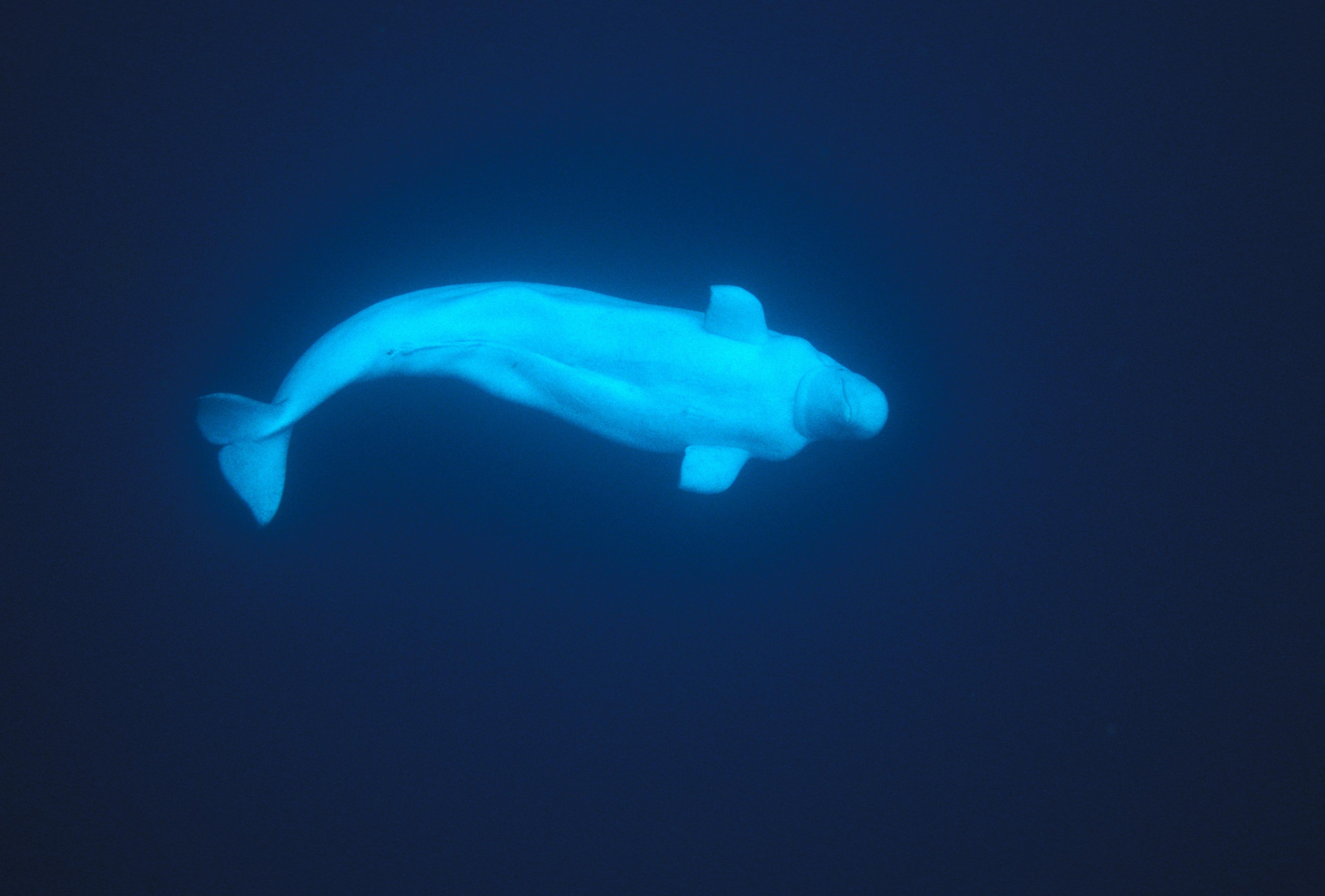 Beluga whale in Lancaster Sound, Nunavut.