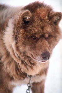 Chien inuit canadien