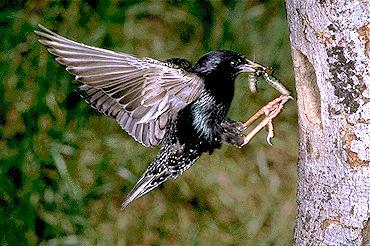 Starling, European