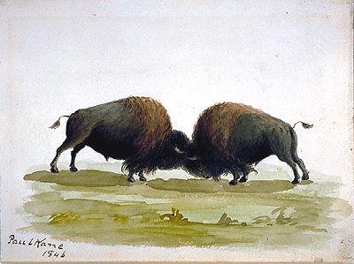 \u00ab Buffalo Bulls Fighting \u00bb