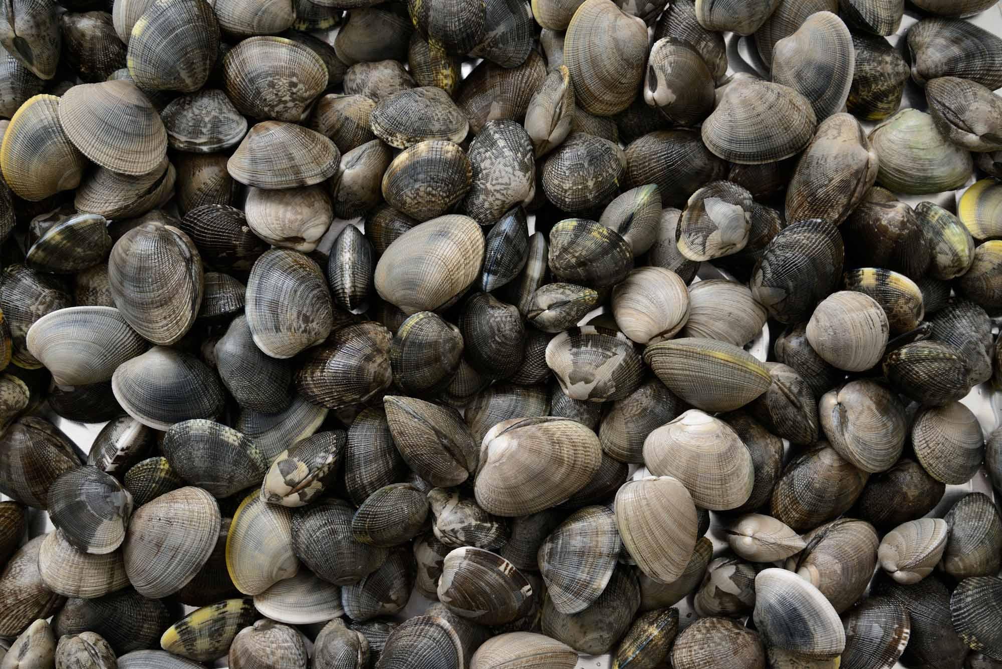 Manila clam