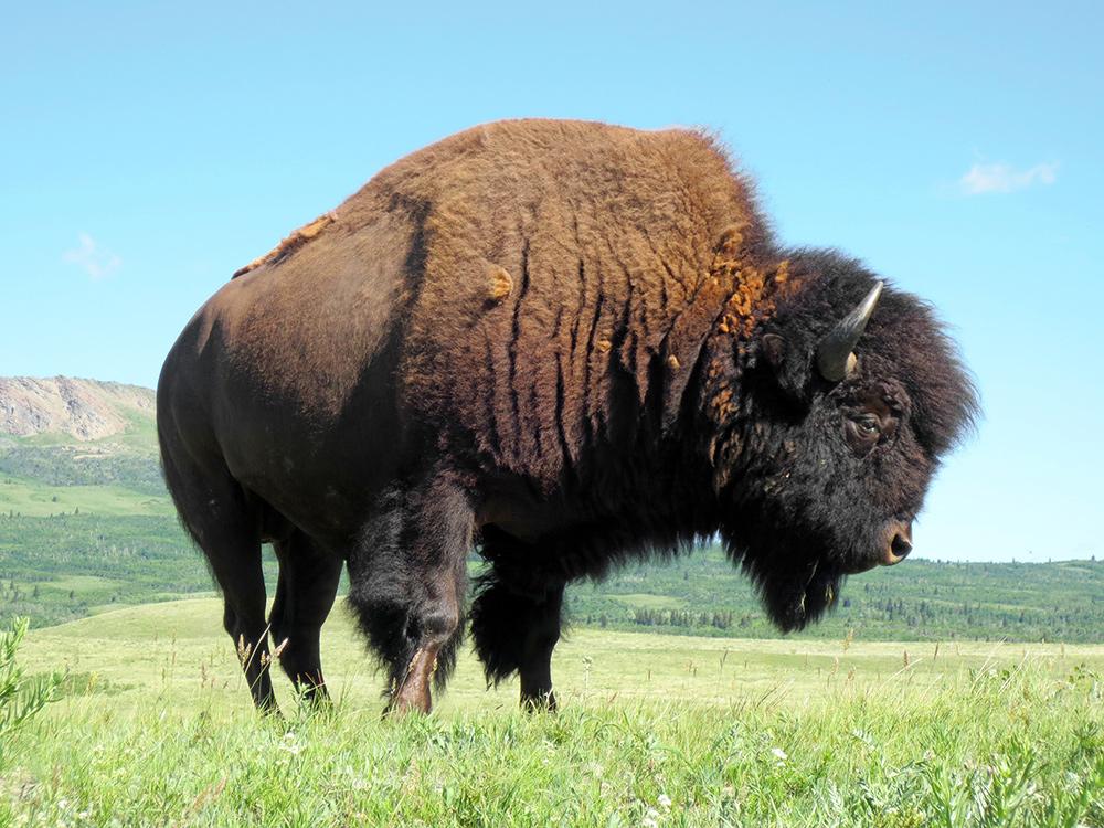 Bison des plaines