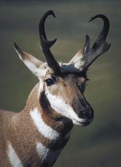 Pronghorn, Close-up