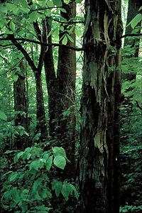 Forêt carolinienne