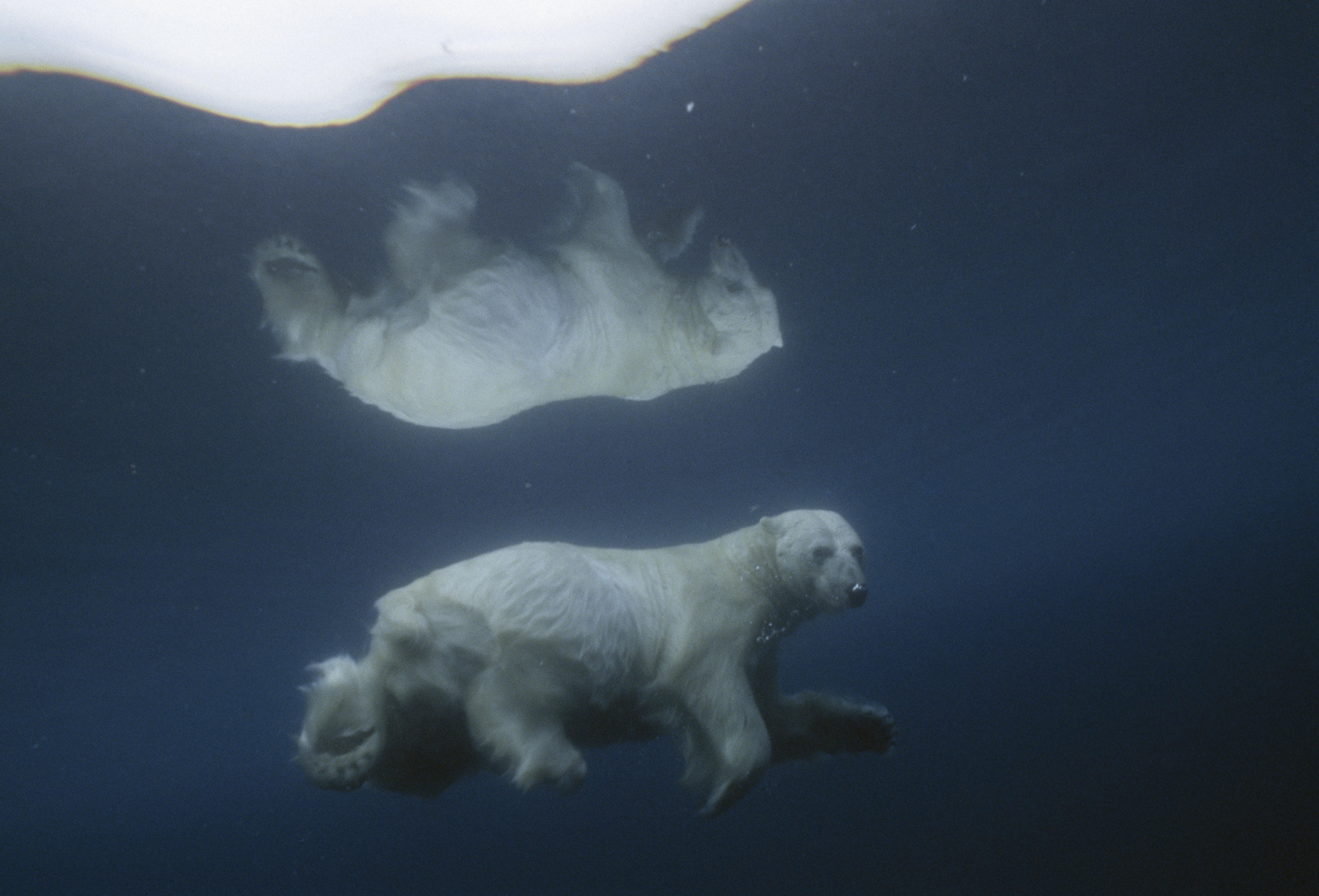 A polar bear swimming beneath an ice floe in Lancaster Sound, Nunavut.